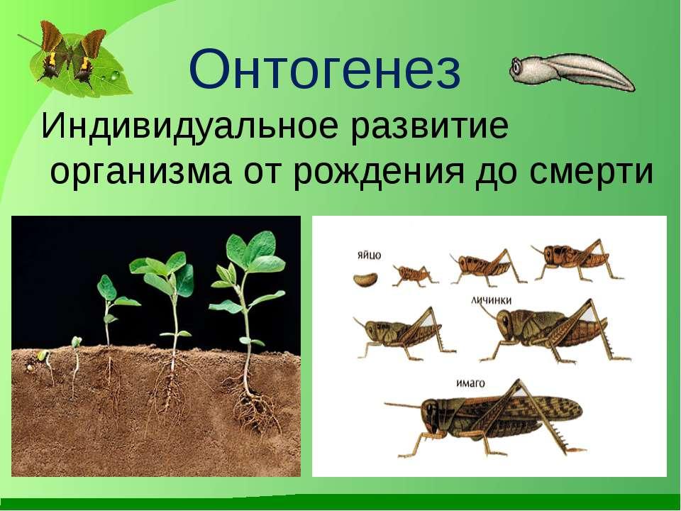 Онтогенез Индивидуальное развитие организма от рождения до смерти