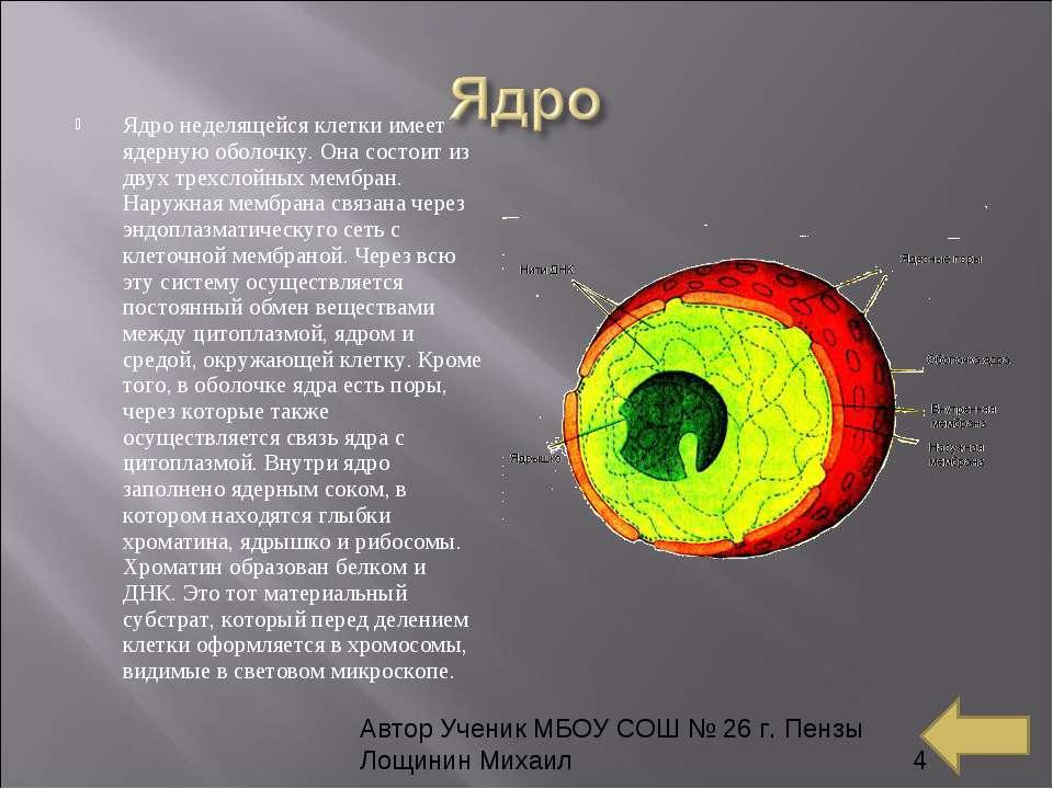 Ядро неделящейся клетки имеет ядерную оболочку. Она состоит из двух трехслойн...