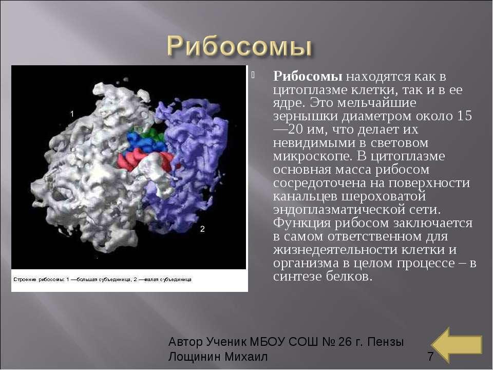 Рибосомы находятся как в цитоплазме клетки, так и в ее ядре. Это мельчайшие з...