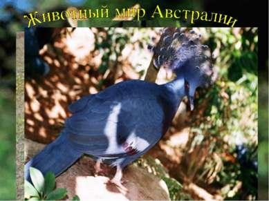 Замечательны в Австралии птицы. Здесь обитает эму, казуар, много видов попуга...