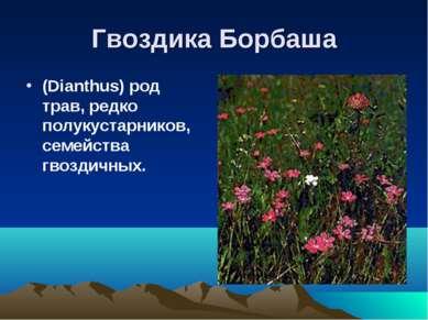 Гвоздика Борбаша (Dianthus) род трав, редко полукустарников, семейства гвозди...