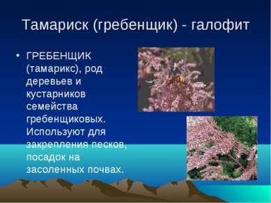 Тамариск (гребенщик) - галофит ГРЕБЕНЩИК (тамарикс), род деревьев и кустарник...