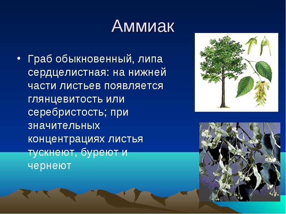 Аммиак Граб обыкновенный, липа сердцелистная: на нижней части листьев появляе...
