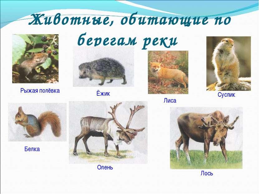 Животные, обитающие по берегам реки Рыжая полёвка Лиса Суслик Ёжик Белка Олен...