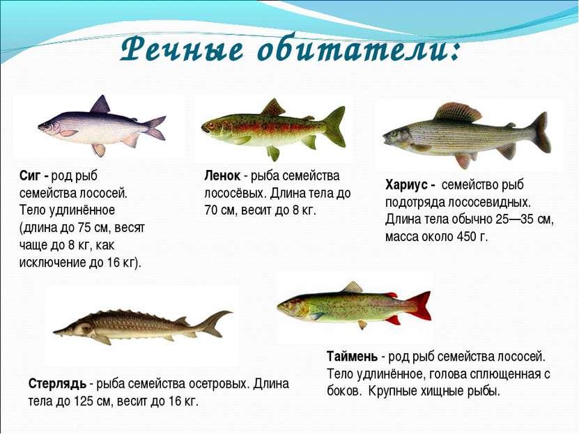 Речные обитатели: Сиг - род рыб семейства лососей. Тело удлинённое (длина до ...