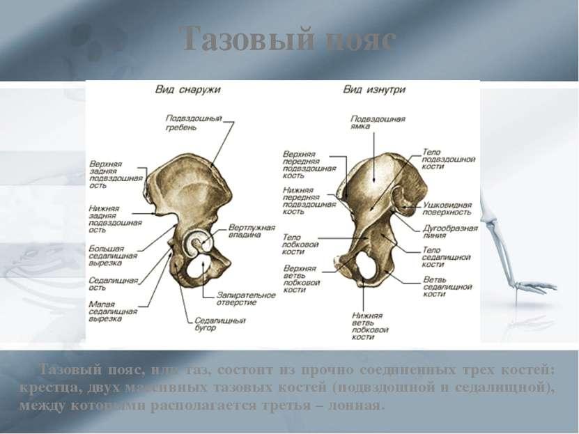 Тазовый пояс Тазовый пояс, или таз, состоит из прочно соединенных трех костей...
