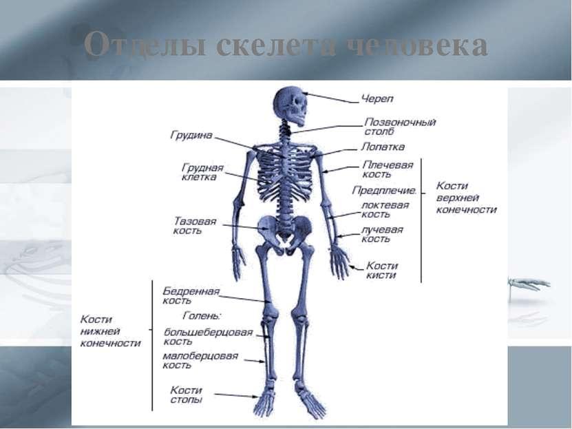 Отделы скелета человека