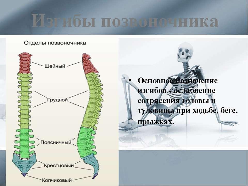 Изгибы позвоночника Основное назначение изгибов - ослабление сотрясения голов...