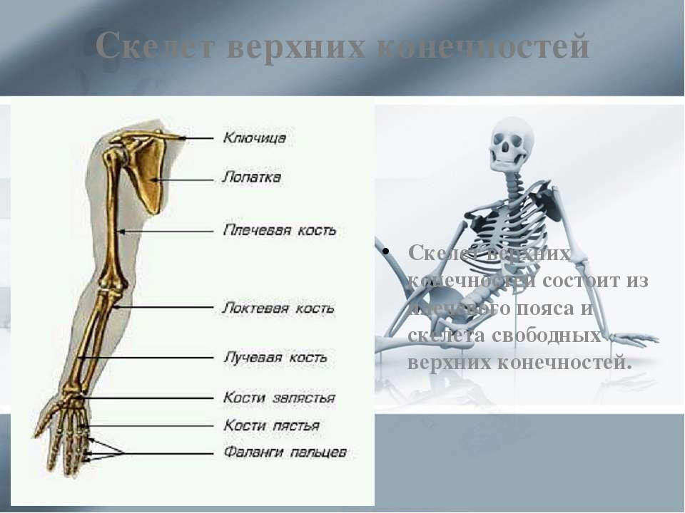 Скелет верхних конечностей Скелет верхних конечностей состоит из плечевого по...