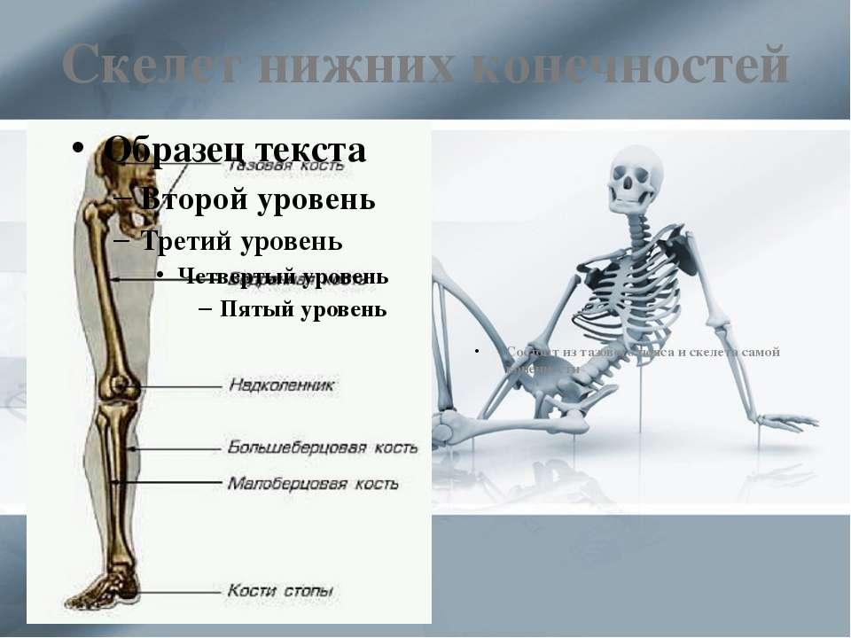Скелет нижних конечностей Состоит из тазового пояса и скелета самой конечности