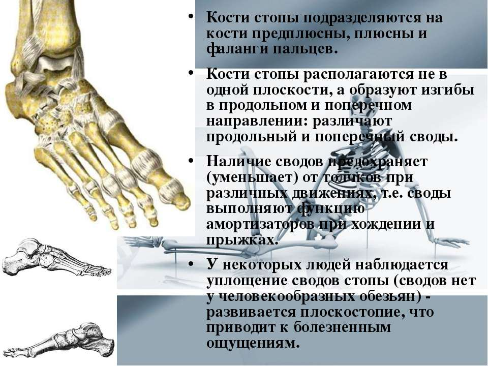 Кости стопы подразделяются на кости предплюсны, плюсны и фаланги пальцев. Кос...
