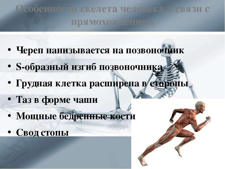 Особенности скелета человека в связи с прямохождением Череп нанизывается на п...