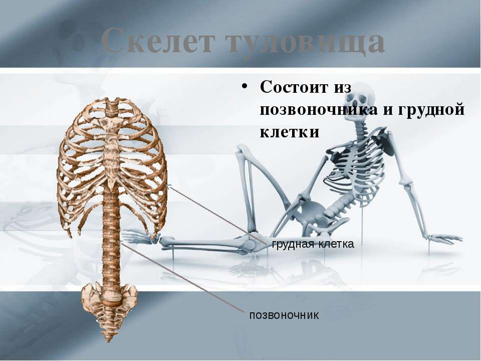 Скелет туловища Состоит из позвоночника и грудной клетки грудная клетка позво...