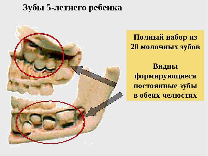 Зубы 5-летнего ребенка Полный набор из 20 молочных зубов Видны формирующиеся ...