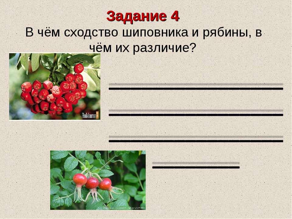 Задание 4 В чём сходство шиповника и рябины, в чём их различие?