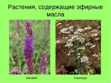 Растения, содержащие эфирные масла Шалфей Кориандр