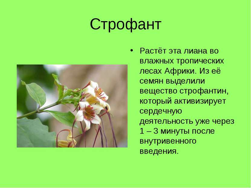 Строфант Растёт эта лиана во влажных тропических лесах Африки. Из её семян вы...