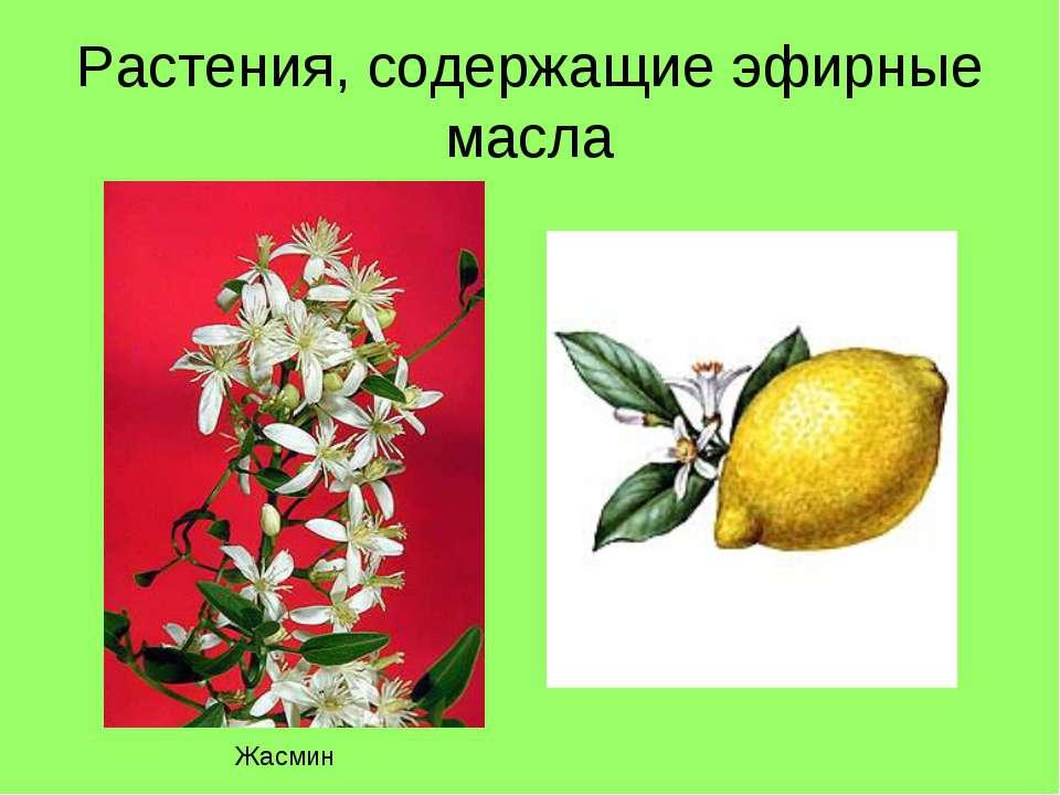 Растения, содержащие эфирные масла Жасмин