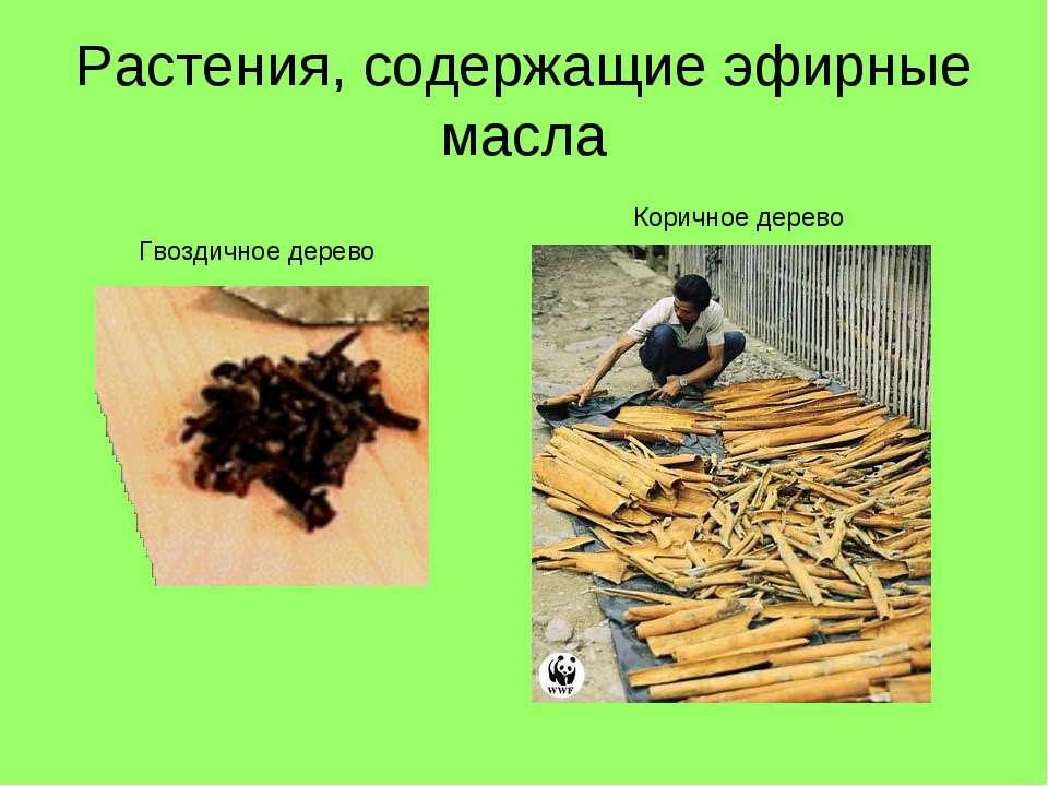 Растения, содержащие эфирные масла Гвоздичное дерево Коричное дерево