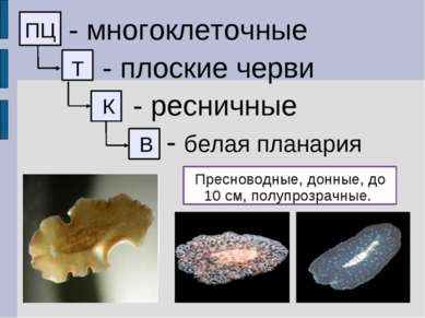 ПЦ - многоклеточные Т - плоские черви К - ресничные - белая планария Пресново...