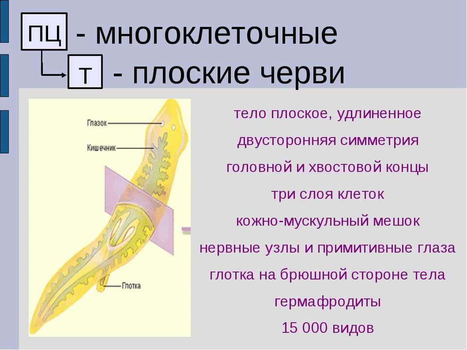 ПЦ - многоклеточные Т - плоские черви тело плоское, удлиненное двусторонняя с...