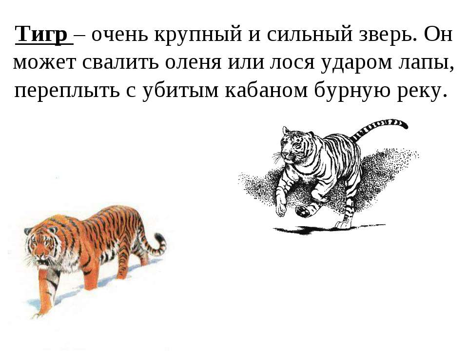 Тигр – очень крупный и сильный зверь. Он может свалить оленя или лося ударом ...