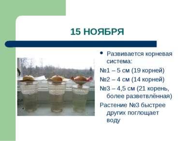 15 НОЯБРЯ Развивается корневая система: №1 – 5 см (19 корней) №2 – 4 см (14 к...