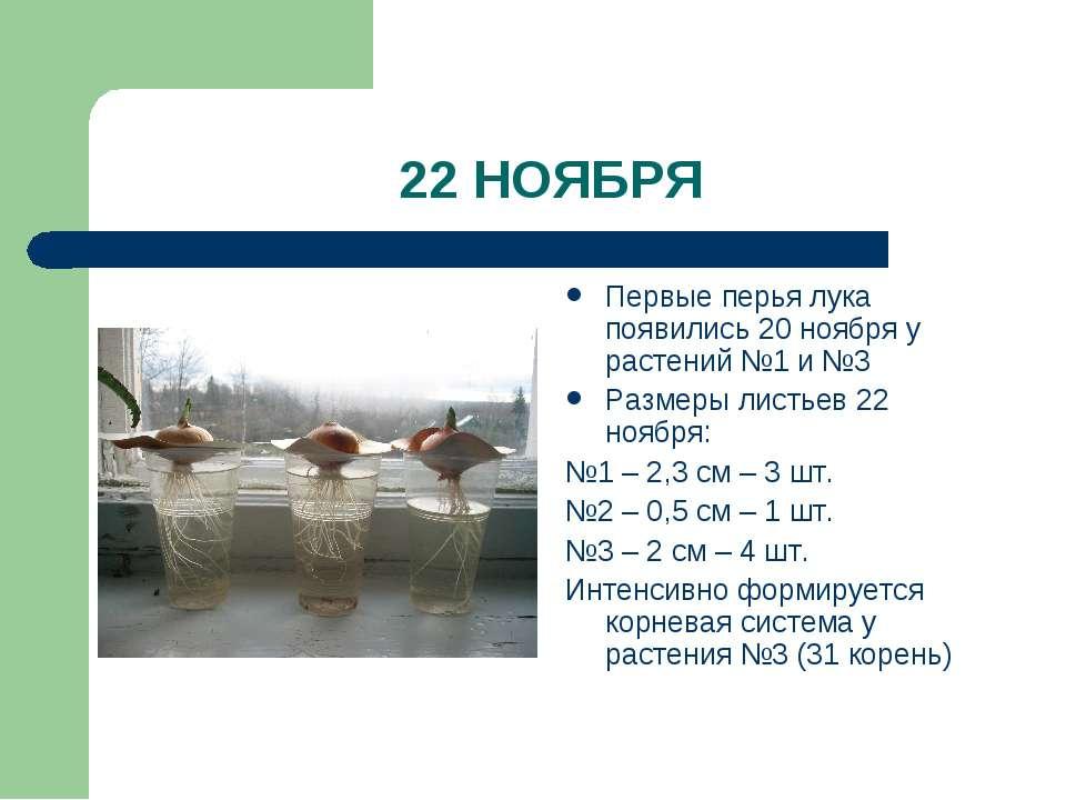 22 НОЯБРЯ Первые перья лука появились 20 ноября у растений №1 и №3 Размеры ли...