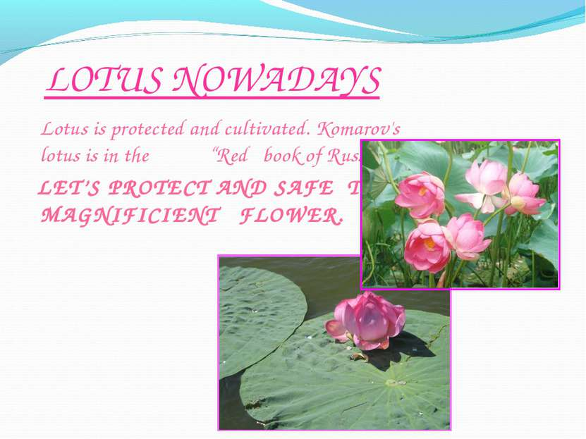 "LOTUS NOWADAYS Lotus is protected and cultivated. Komarov's lotus is in the ""..."