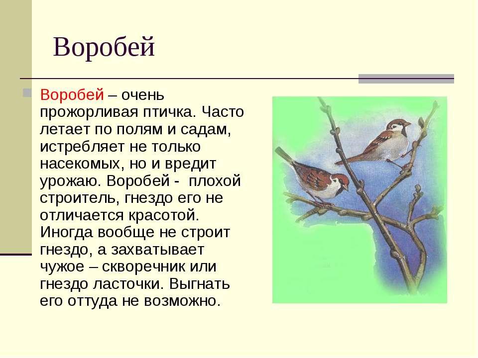 Воробей Воробей – очень прожорливая птичка. Часто летает по полям и садам, ис...