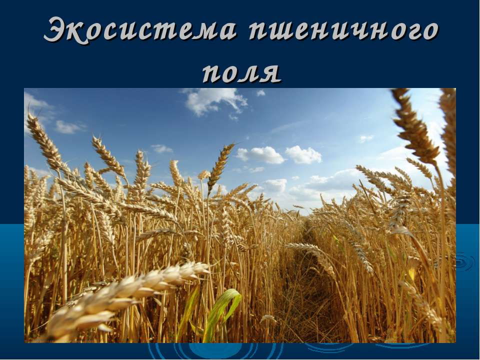 Экосистема пшеничного поля