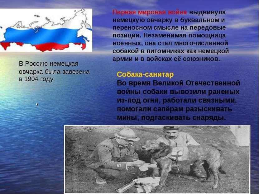 В Россию немецкая овчарка была завезена в 1904 году . Первая мировая война вы...
