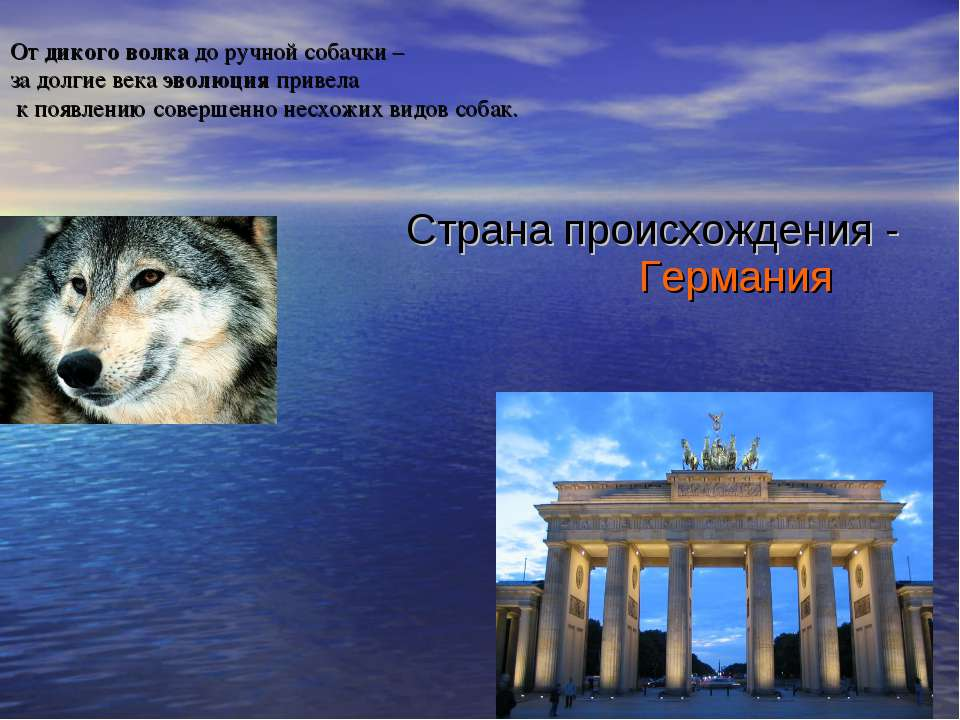 От дикого волка до ручной собачки – за долгие века эволюция привела к появлен...