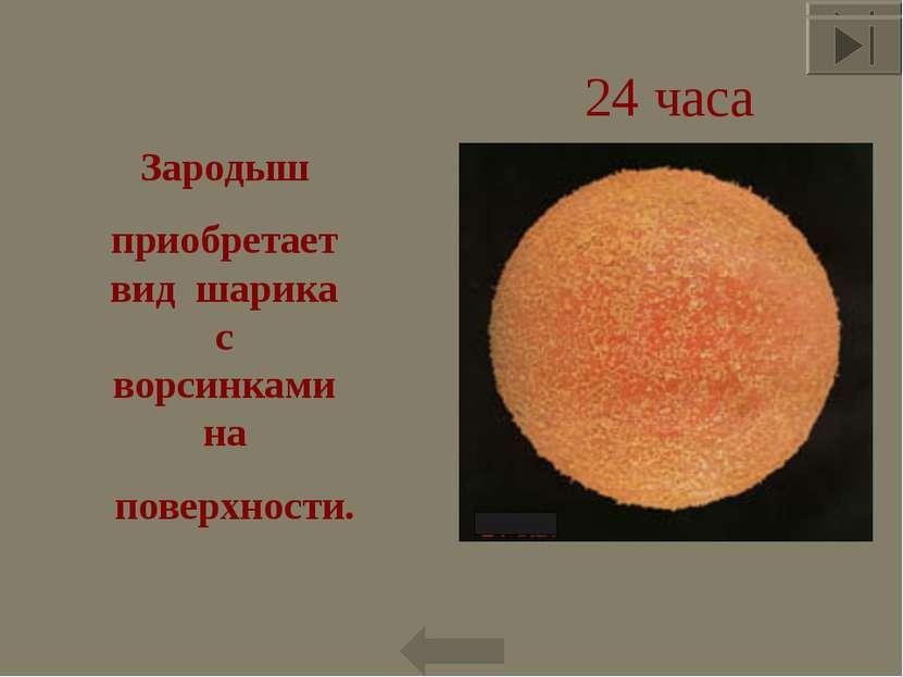 24 часа Зародыш приобретает вид шарика с ворсинками на поверхности. * *