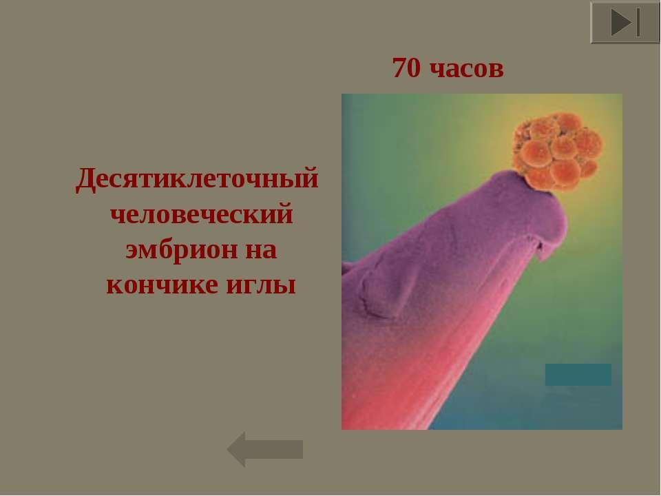 Десятиклеточный человеческий эмбрион на кончике иглы * 70 часов