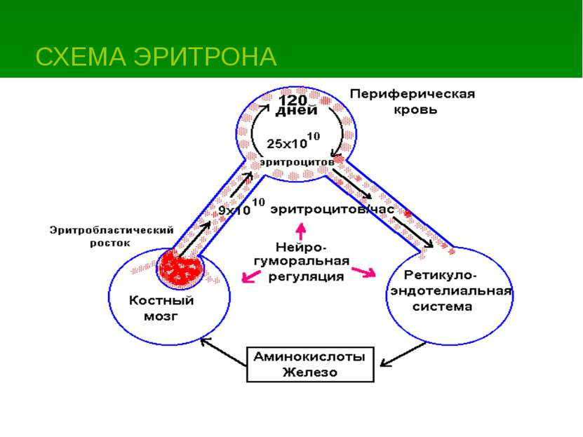 СХЕМА ЭРИТРОНА