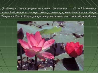 Плавающие листья орехоносного лотоса достигают 80 см в диаметре и могут выдер...