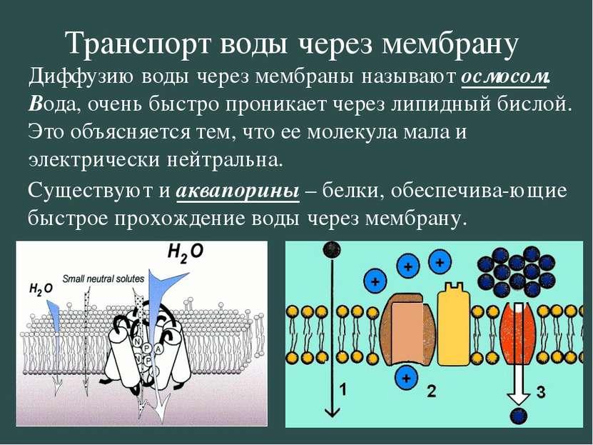 Транспорт воды через мембрану Диффузию воды через мембраны называют осмосом. ...