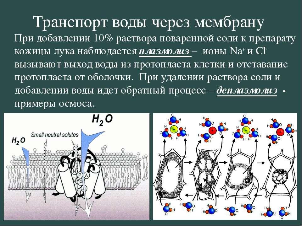 Транспорт воды через мембрану При добавлении 10% раствора поваренной соли к п...