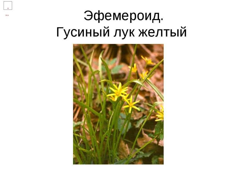Эфемероид. Гусиный лук желтый