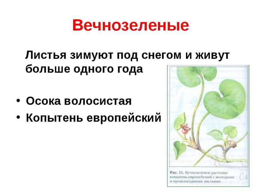 Вечнозеленые Листья зимуют под снегом и живут больше одного года Осока волоси...