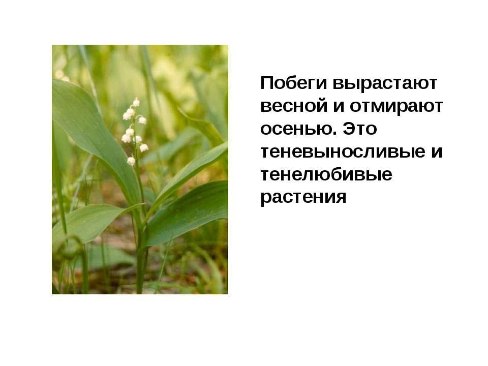 Побеги вырастают весной и отмирают осенью. Это теневыносливые и тенелюбивые р...