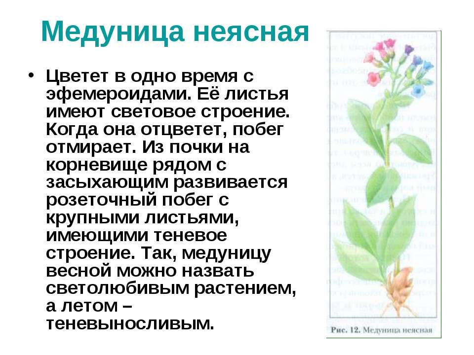 Медуница неясная Цветет в одно время с эфемероидами. Её листья имеют световое...