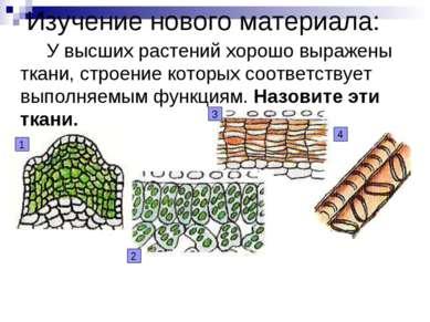 Изучение нового материала: У высших растений хорошо выражены ткани, строение ...