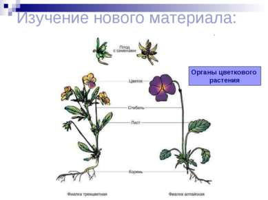Изучение нового материала: Органы цветкового растения