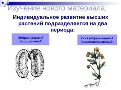 Изучение нового материала: Индивидуальное развитие высших растений подразделя...