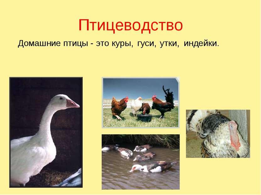 Птицеводство Домашние птицы - это куры, гуси, утки, индейки.