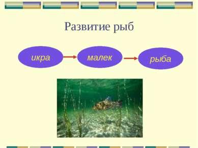 Развитие рыб икра малек рыба