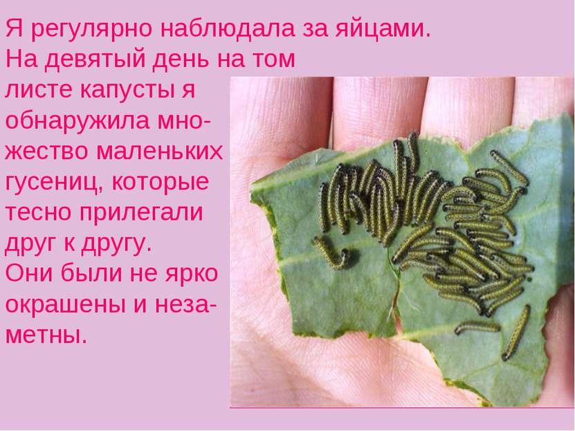 Я регулярно наблюдала за яйцами. На девятый день на том листе капусты я обнар...