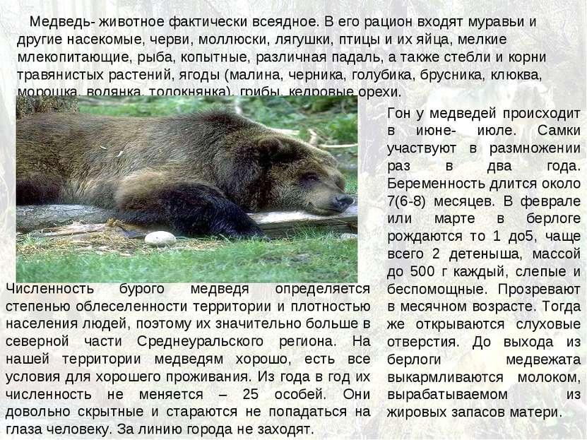 Медведь- животное фактически всеядное. В его рацион входят муравьи и другие н...